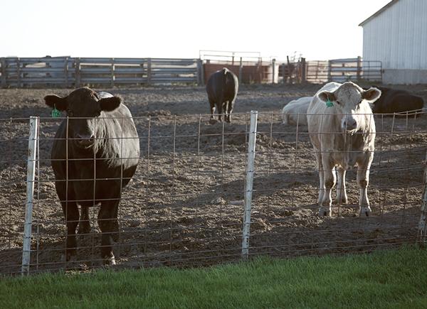 life-cows-big